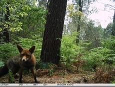 Zorro captado mediante fototrampeo en la comarca del Baixo Miño (Pontevedra) la pasada primavera.