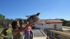 Momento de la liberación al medio natural, por su propia madrina, de un ratonero rehabilitado (foto: Grefa).