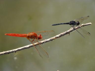 Machos de Diplacodes lefebvrii (derecha) y Crocothemis erythraea en la laguna del Taraje (Córdoba). Ambas libélulas son de origen africano, pero actualmente C. erythraea se encuentra más ampliamente extendida por la península Ibérica (foto: Francisco J. Cano).