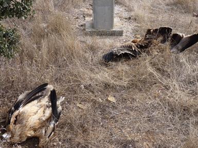 Dos pollos de águila imperial yacen electrocutados bajo el poste de un tendido eléctrico del término municipal de Torre de Juan Abad (Ciudad Real). Foto: José Guzmán.