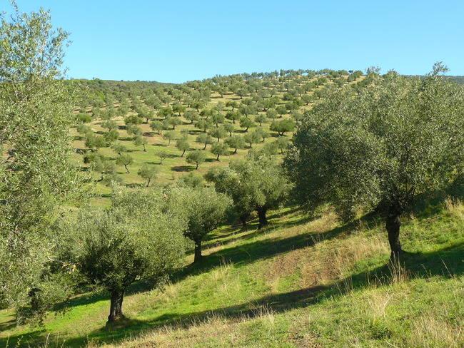 Panorámica de un olivar de montaña, considerado como uno de los sistemas de alto valor natural más necesitados de una gestión que revalorice su importancia ecológica y socio-económica (foto: WWF España)