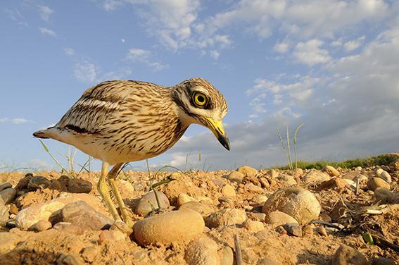 """El alcaraván es una de las especies que se está beneficiando del proyecto """"AgroSOStenible"""" (foto: Javier Alonso)."""