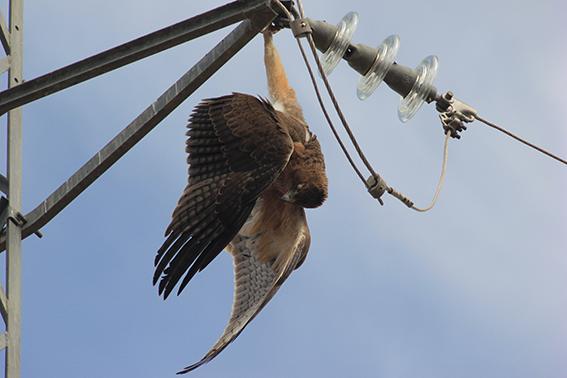 Ejemplar joven de águila perdicera o de Bonelli encontrada muerta por electrocución en un tendido eléctrico de la provincia de Jaén (foto: Francisco Javier Pulpillo).