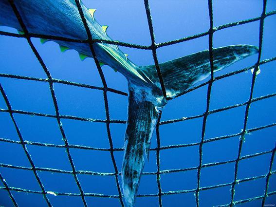 Detalle de la cola de un atún rojo en una red (foto: Greenpeace).