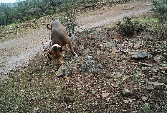 Perro asilvestrado objeto de estudio por su comportamiento depredador (foto: Francisco José García).