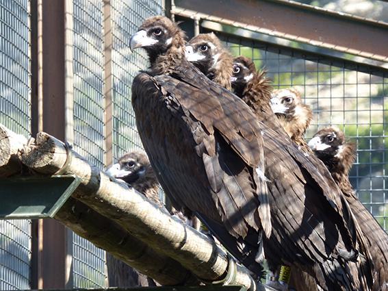Quince buitres negros se liberan en Pirineos, en la mayor reintroducción conocida para esta especie