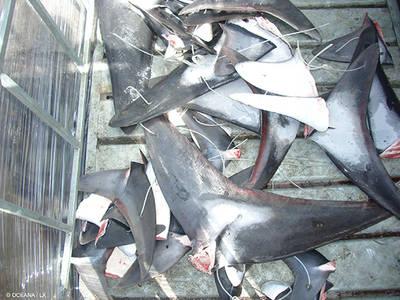 Aletas de varios tiburones cercenadas a raíz de la práctica del finning (foto: Oceana).