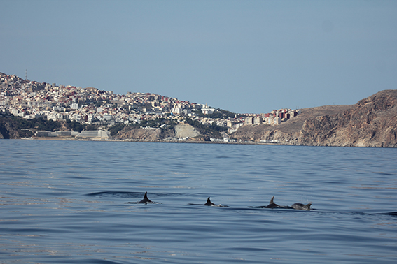 Grupo de delfines mulares (Tursiops truncatus) frente a la bahía y la ciudad de Alhucemas, en la costa norte marroquí (foto: CIRCE).