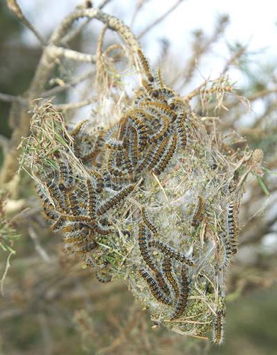 Larvas de procesionaria del pino a punto de abandonar su bolsón invernal en la rama de un pino (foto: J. A. Hódar).