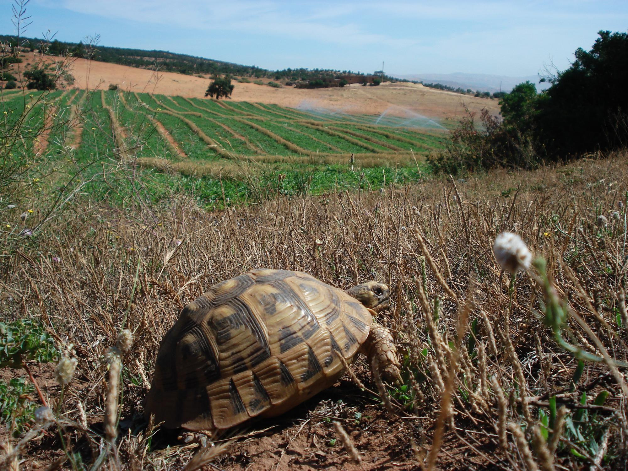 ¿Autóctona o introducida? Origen de la población de tortuga mora en el sureste ibérico