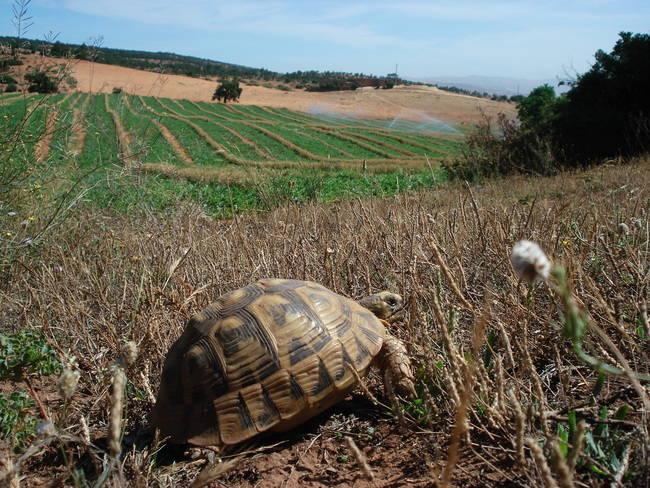 Tortuga mora muestreada en Argelia, cerca de Orán. En este país las tortugas moras habitan en paisajes agrícolas tradicionales que tienden a intensificarse (foto: Marcos Ferrández).