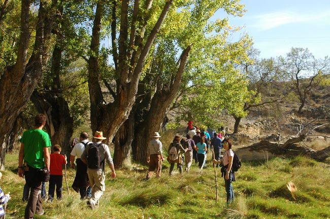 Un grupo de persona camina junto a unos chopos cabeceros en Blesa (Teruel), durante una excursión en la fiesta dedicada a estos árboles el pasado 25 de octubre (foto: Chabier de Jaime).