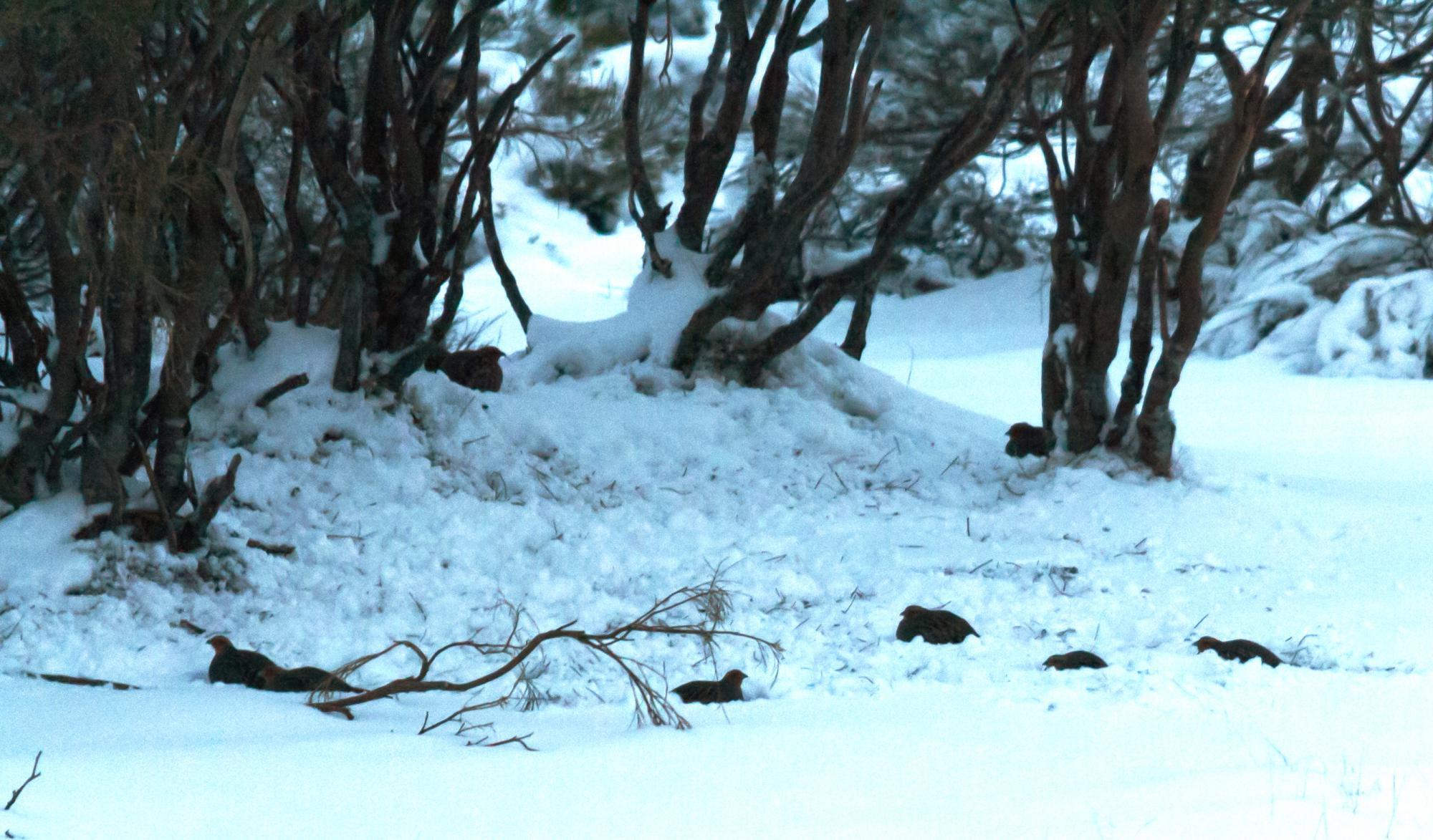 Ecología invernal de la perdiz pardilla en la montaña leonesa