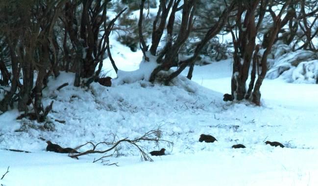 Perdices pardillas preparadas para pasar la noche al abrigo de unos piornos (Cytisus scoparius). Foto: Más que pájaros.