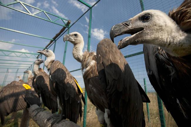 Buitres leonados procedentes de España, en un jaulón de aclimatación emplazado en una zona de reintroducción de Bulgaria, antes de que sean liberados (foto: Green Balkans).