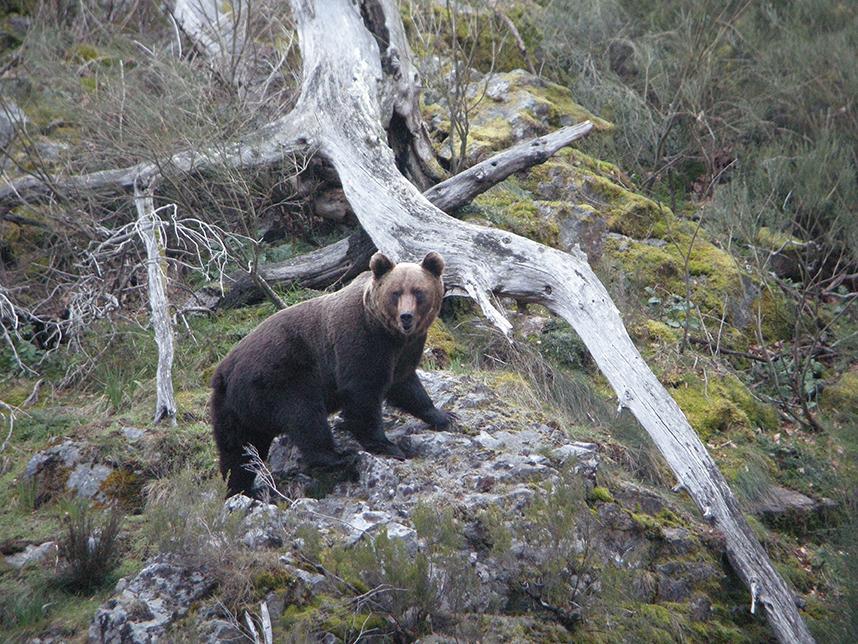 Mejora la salud genética de los osos cantábricos orientales