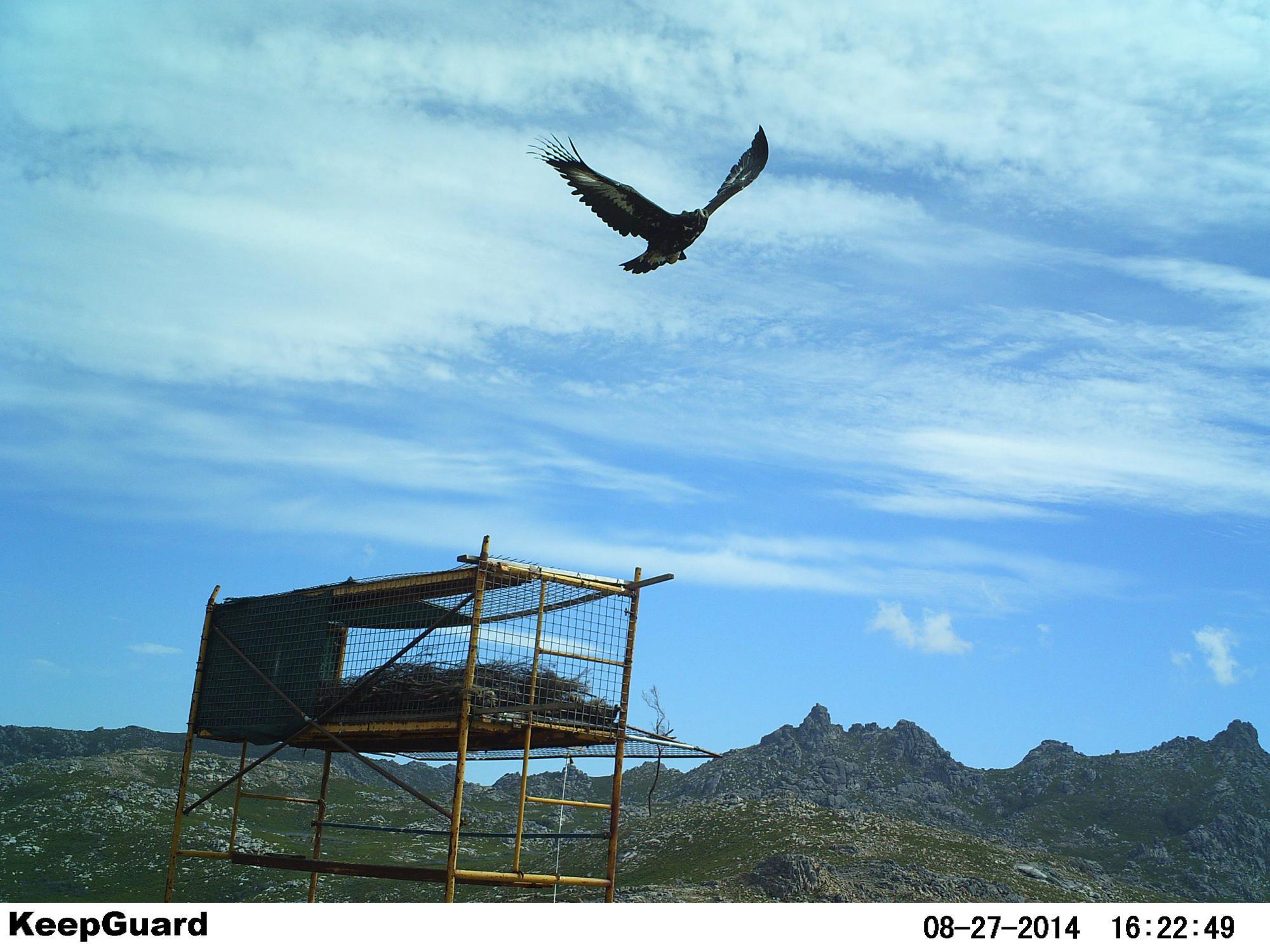 Águilas reales a la conquista del Lejano Oeste