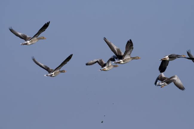 Grupo de ánsares comunes en vuelo.