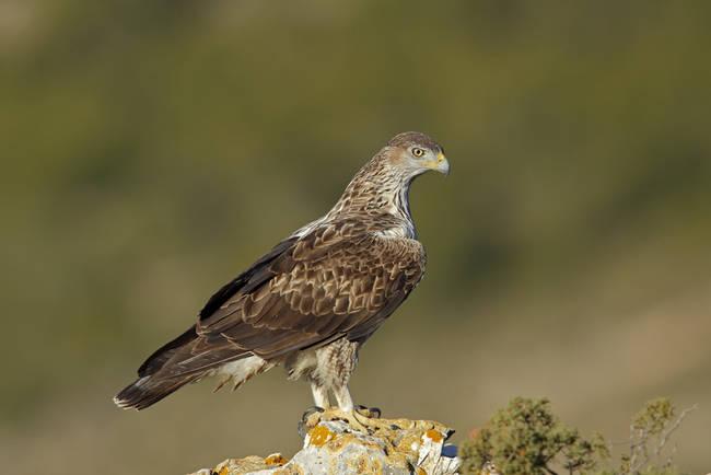 Águila perdicera posada en una atalaya (foto: José Julián Rico).