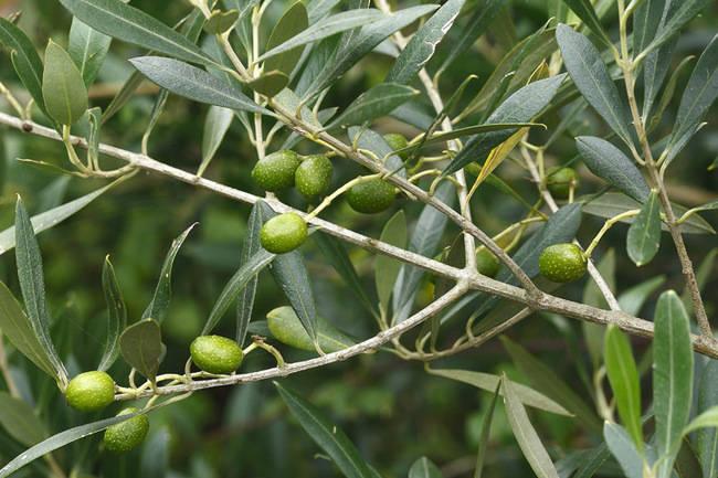 Ramas de olivo con sus frutos. El aceite de oliva, aparte de ser una auténtica panacea, contiene hidroxitirosol, un inhibidor de la angiogénesis (foto: Joseba del Villar).