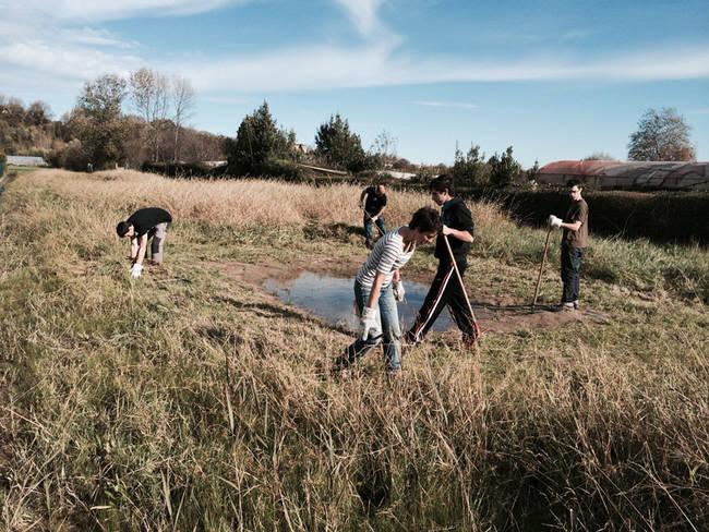 Voluntarios eliminan la planta invasora Spartina patens en el arenal de Azkorri (Vizcaya), en pleno hábitat de cría de sapo corredor (foto: Ion Garin y Aitor Laza).