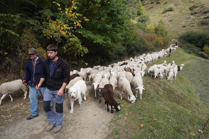La prevención de ataques de oso ha funcionado en 2014 en el Alt Pirineu