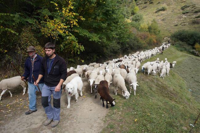 Dos pastores acompañan a uno de los rebaños agrupados y vigilados en el Parque Natural de l'Alt Pirineu (Lleida). Foto: Generalitat de Cataluña.