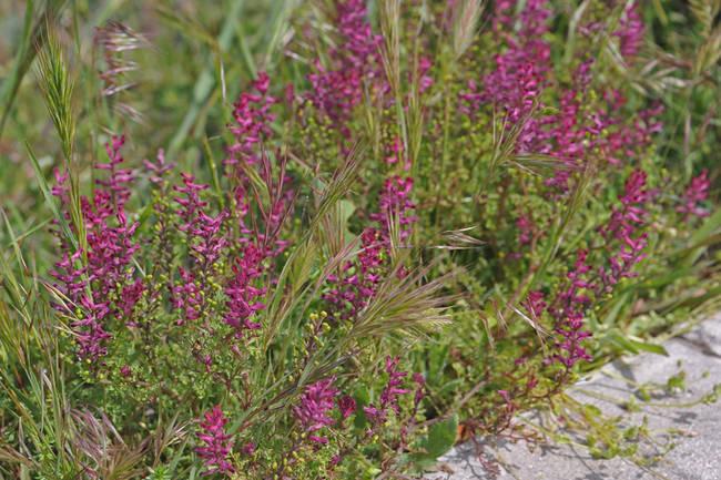 Es fácil encontrar grupos de palomillas (Fumaria officinalis) en cunetas, baldíos y otros suelos ricos en nitrógeno y con algo de humedad.