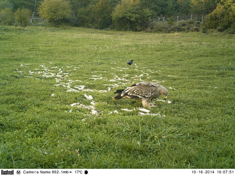 Aparece un águila imperial oriental en el Pirineo de Huesca