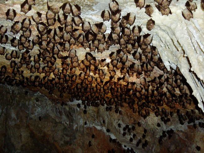 Grupo de murciélagos mediterráneos de herradura (Rhinolophus euryale), perteneciente a una colonia de Tous (Valencia). Foto: Miguel Ángel Monsalve).