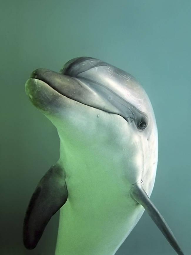 Primer plano de un delfín mular (foto: WWF).