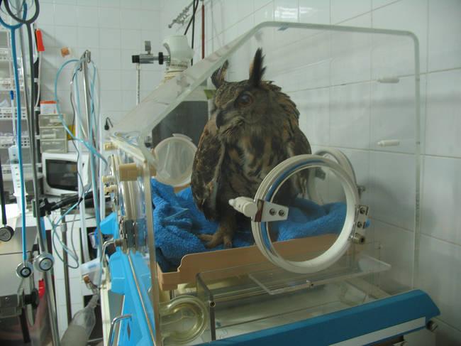 Un búho real objeto de tratamiento en el hospital de fauna de Amus, en Villafranca de los Barros (Badajoz). Foto: Amus.