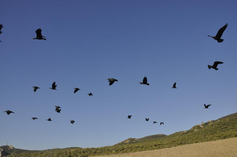 Crónica de la reintroducción del ibis eremita en Andalucía