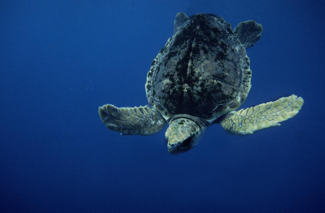 La tortuga boba en el Mediterráneo occidental