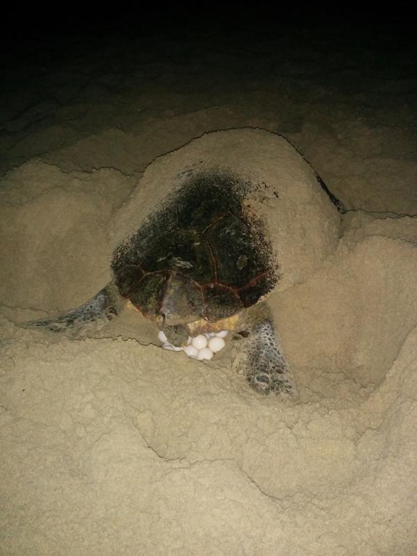 Las tortugas marinas: ¿especies amenazadas o nuevos colonos del Mediterráneo?