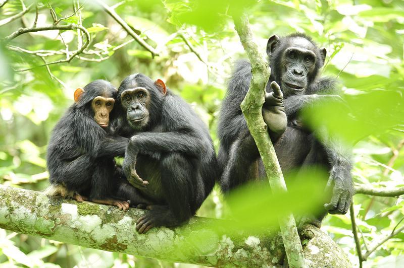 El futuro del chimpancé de Nigeria-Camerún, preocupante