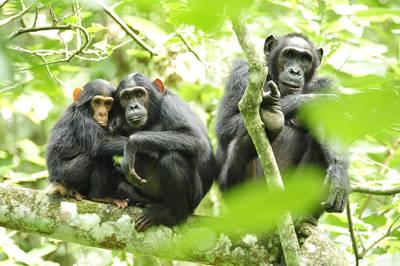 Grupo familiar de chimpancés en su hábitat (foto: USAID Africa Bureau).