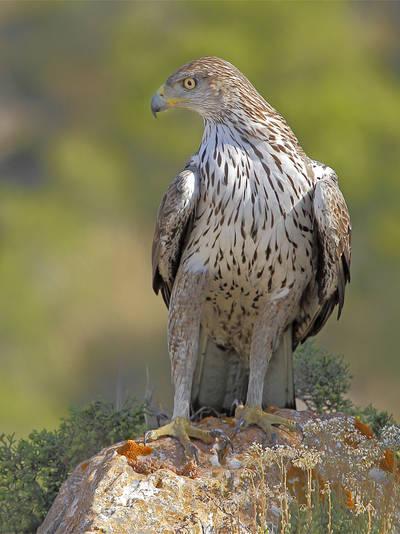 Un águila perdicera adulta observa desde una roca utilizada como posadero (foto: José Julián Rico).