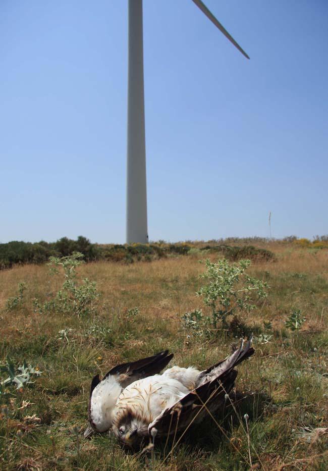 Un águila calzada yace muerta cerca de un aerogenerador (foto: Colectivo Azálvaro).
