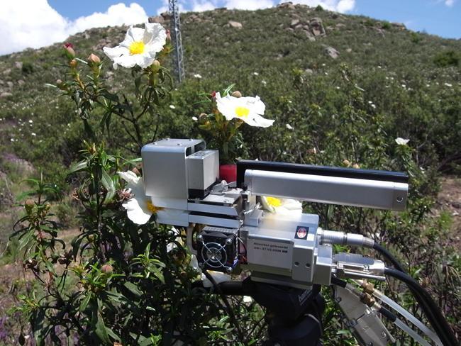 El conflicto de las jaras con flores grandes en ambientes mediterráneos
