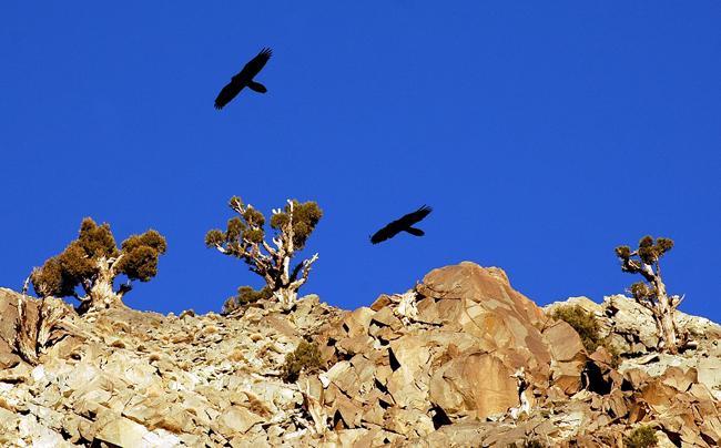 Dos quebrantahuesos sobrevuelan un roquedo en el Alto Atlas (Marruecos). Foto: J. R. Garrido.
