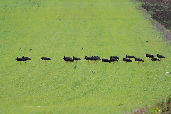 Bando de cigüeñas negras en migración postnupcial descansando en terrenos cultivados de la Laguna de la Janda (foto: Stephen Daly).