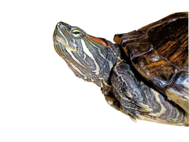 Detalle de un galápago de Florida, reptil invasor en España (foto: GEIB).