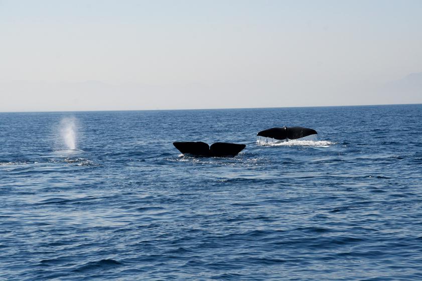 Cachalotes, los gigantes que reinan sobre el Mediterráneo