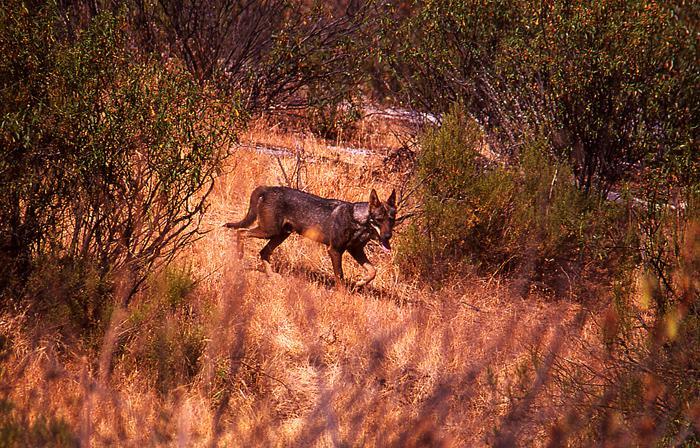 Gran respaldo al reto urgente de salvar al lobo en Andalucía