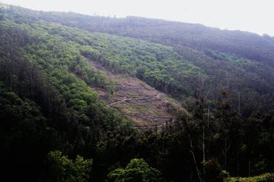 """Cultivo reciente de eucaliptos en la ZEC de """"Xubia-Castro"""" (A Coruña), un área protegida por la Red Natura 2000 de la Unión Europea. (foto: Álvaro Barros)."""