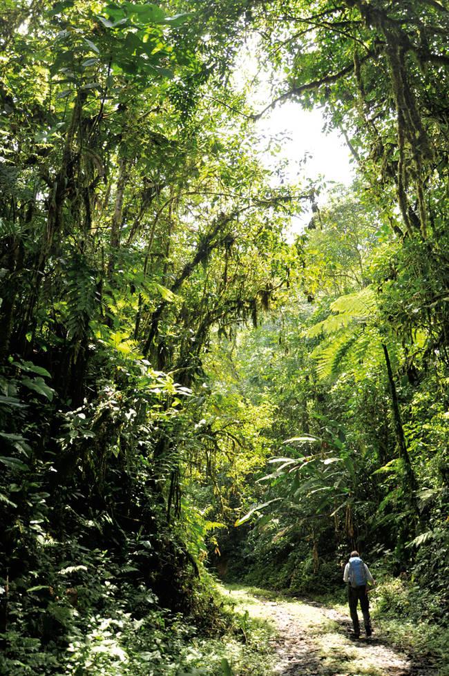 Un investigador realiza un transecto por el interior del bosque, en la Reserva de Buenaventura (Ecuador). Foto: Jerónimo Torres.