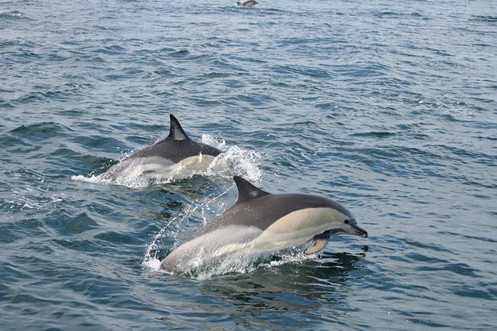 Un estudio detecta PBDE en cetáceos de nuestras costas