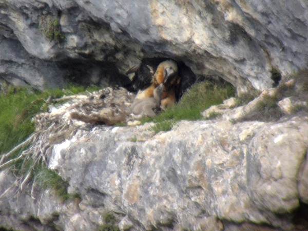 El macho 'Tono' ceba a su pollo (con 26 días de edad) en el nido natural que regenta en Cazorla foto: Francisco Javier Montoro).