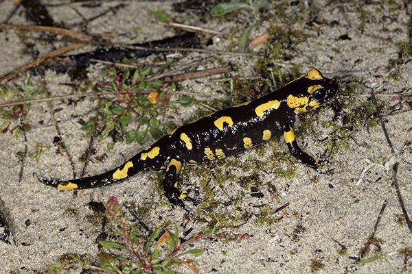 La singular adaptación de las salamandras en el Parque Nacional de las Islas Atlánticas